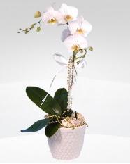 1 dallı orkide saksı çiçeği  Sakarya internetten çiçek siparişi