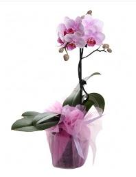 1 dal pembe orkide saksı çiçeği  Sakarya çiçek siparişi sitesi