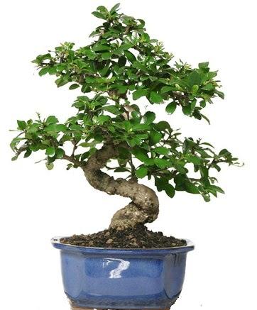 21 ile 25 cm arası özel S bonsai japon ağacı  Sakarya 14 şubat sevgililer günü çiçek