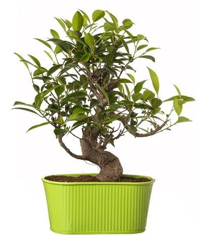 Ficus S gövdeli muhteşem bonsai  Sakarya kaliteli taze ve ucuz çiçekler