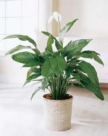 Sakarya İnternetten çiçek siparişi  spatilyum ithal büyük boy