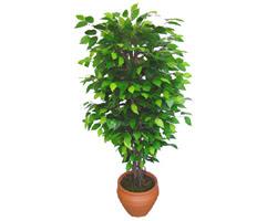 Ficus Benjamin 1,50 cm   Sakarya çiçek satışı