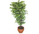 Ficus özel Starlight 1,75 cm   Sakarya çiçek gönderme sitemiz güvenlidir