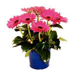 vazo içerisinde gerbera çiçekleri   Sakarya İnternetten çiçek siparişi