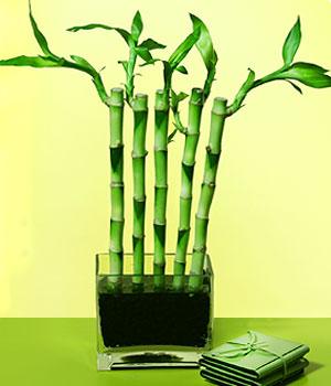 Sakarya çiçek satışı  Good Harmony Lucky Bamboo camda