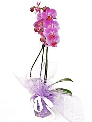Sakarya çiçek satışı  Kaliteli ithal saksida orkide