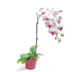Sakarya uluslararası çiçek gönderme  Saksida orkide