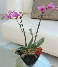 Sakarya çiçek mağazası , çiçekçi adresleri  tek dal ikili orkide saksi çiçegi