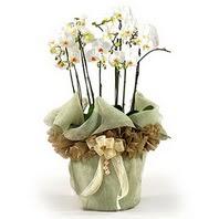 Sakarya kaliteli taze ve ucuz çiçekler  3 dal orkide , saksi çiçegi , 3 kök orkide