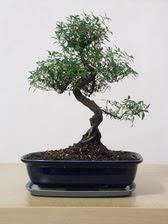 ithal bonsai saksi çiçegi  Sakarya çiçek yolla , çiçek gönder , çiçekçi