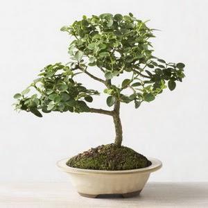 ithal bonsai saksi çiçegi  Sakarya ucuz çiçek gönder