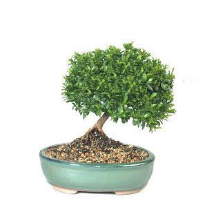 ithal bonsai saksi çiçegi  Sakarya çiçek yolla