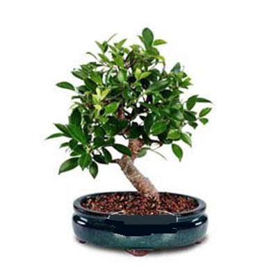 ithal bonsai saksi çiçegi  Sakarya kaliteli taze ve ucuz çiçekler