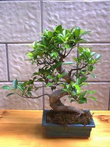 ithal bonsai saksi çiçegi  Sakarya çiçek , çiçekçi , çiçekçilik