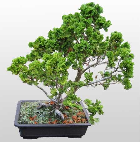 ithal bonsai saksi çiçegi  Sakarya online çiçek gönderme sipariş