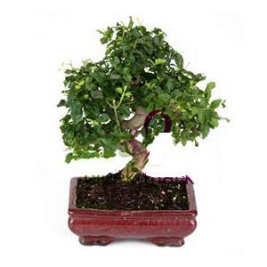 ithal bonsai saksi çiçegi  Sakarya çiçek satışı