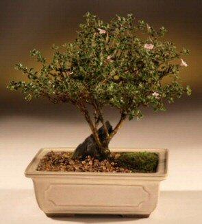 ithal bonsai saksi çiçegi  Sakarya çiçekçi mağazası