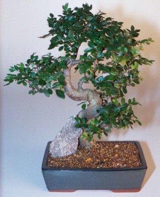 Sakarya cicek , cicekci  ithal bonsai saksi çiçegi  Sakarya kaliteli taze ve ucuz çiçekler
