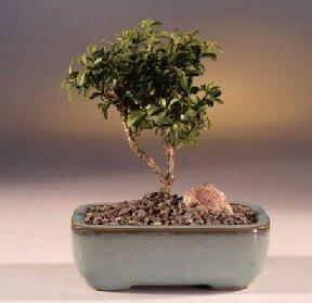 Sakarya cicekciler , cicek siparisi  ithal bonsai saksi çiçegi  Sakarya güvenli kaliteli hızlı çiçek
