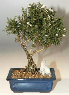 Sakarya hediye sevgilime hediye çiçek  ithal bonsai saksi çiçegi  Sakarya İnternetten çiçek siparişi