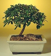 Sakarya çiçek online çiçek siparişi  ithal bonsai saksi çiçegi  Sakarya çiçek gönderme sitemiz güvenlidir