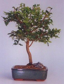 Sakarya çiçek online çiçek siparişi  ithal bonsai saksi çiçegi  Sakarya çiçek satışı