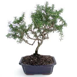 ithal bonsai saksi çiçegi  Sakarya 14 şubat sevgililer günü çiçek