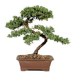 ithal bonsai saksi çiçegi  Sakarya cicek , cicekci