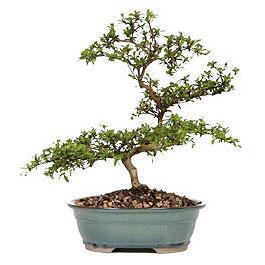 Sakarya online çiçek gönderme sipariş  ithal bonsai saksi çiçegi  Sakarya cicek , cicekci
