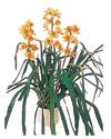 Sakarya yurtiçi ve yurtdışı çiçek siparişi  Orchiede ithal büyük boy saksi