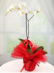 1 dal beyaz orkide saksı çiçeği  Sakarya çiçekçiler