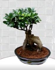 saksı çiçeği japon ağacı bonsai  Sakarya çiçek siparişi sitesi