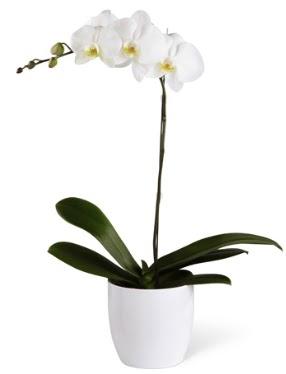 1 dallı beyaz orkide  Sakarya çiçekçi telefonları