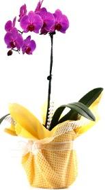 Sakarya kaliteli taze ve ucuz çiçekler  Tek dal mor orkide saksı çiçeği