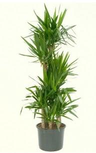 7 li yucca saksı bitkisi  Sakarya hediye çiçek yolla