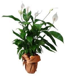 Orta boy barış çiçeği limon çiçeği  Sakarya online çiçekçi , çiçek siparişi