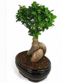 Bonsai saksı bitkisi japon ağacı  Sakarya kaliteli taze ve ucuz çiçekler