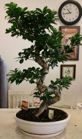 100 cm yüksekliğinde dev bonsai japon ağacı  Sakarya online çiçek gönderme sipariş