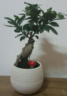 Bonsai japon ağacı saksı çiçeği  Sakarya cicek , cicekci