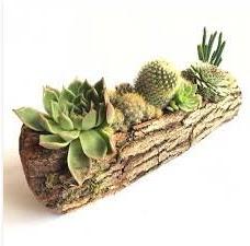 Gerçek uzun kütük içerisinde 7 adet kaktüs  Sakarya kaliteli taze ve ucuz çiçekler