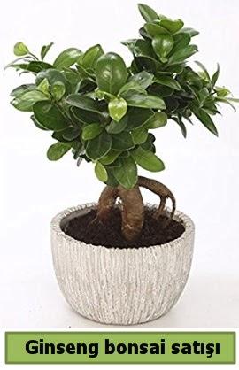Ginseng bonsai japon ağacı satışı  Sakarya 14 şubat sevgililer günü çiçek