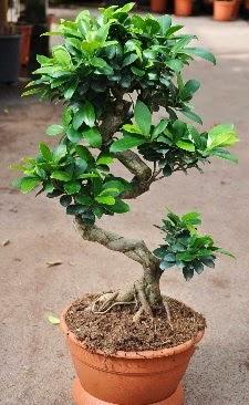 Orta boy bonsai saksı bitkisi  Sakarya online çiçekçi , çiçek siparişi