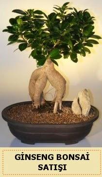 İthal Ginseng bonsai satışı japon ağacı  Sakarya kaliteli taze ve ucuz çiçekler