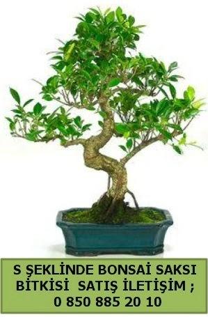 İthal S şeklinde dal eğriliği bonsai satışı  Sakarya uluslararası çiçek gönderme