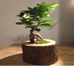 Doğal kütükte Bonsai japon ağacı satışı  Sakarya güvenli kaliteli hızlı çiçek