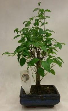 Minyatür bonsai japon ağacı satışı  Sakarya 14 şubat sevgililer günü çiçek