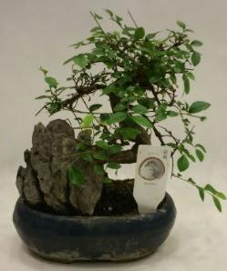 İthal 1.ci kalite bonsai japon ağacı  Sakarya anneler günü çiçek yolla