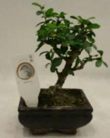 Küçük minyatür bonsai japon ağacı  Sakarya uluslararası çiçek gönderme