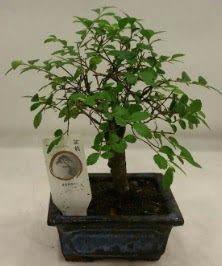 Minyatür ithal japon ağacı bonsai bitkisi  Sakarya anneler günü çiçek yolla