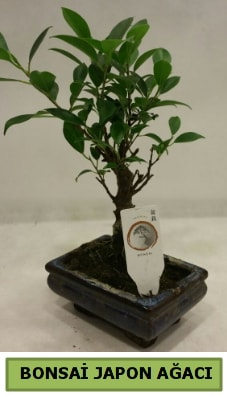 Bonsai japon ağacı saksı bitkisi  Sakarya hediye çiçek yolla